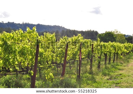 Row of vines in the Napa Valley