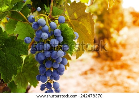 Row of vines with grapes and vine leafs