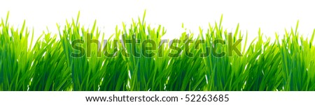 row of wheat grass isolated on white
