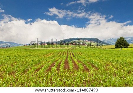 Row with young corn against the Alps