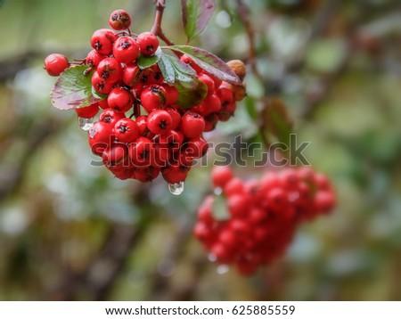 Rowan  berries #625885559