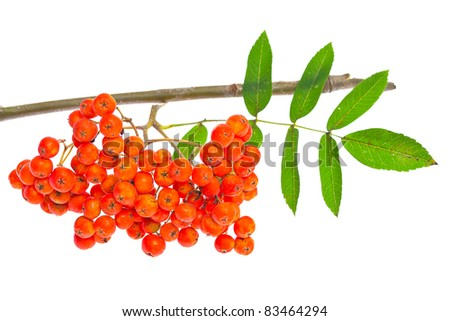 Stock Photo rowan berries and leaves on white