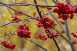 Rowan berries on a branch in the autumn park. Blur.