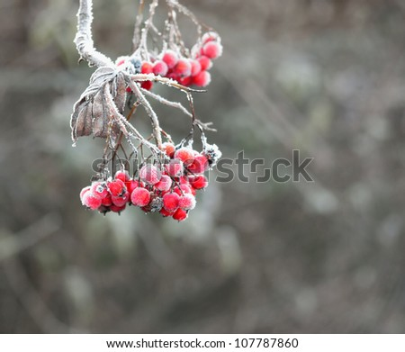 Rowan berries with ice crystals
