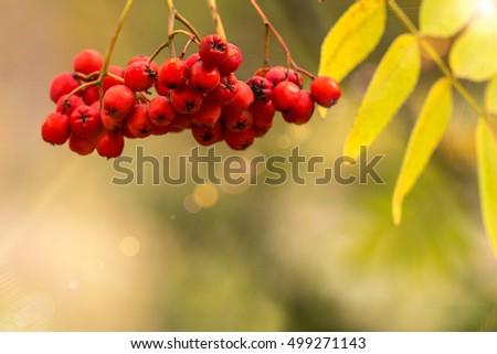 Rowan berriesin  in autumn park #499271143