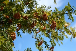 Rowan branch with a bunch of red ripe berries. Sorbus aucuparia tree closeup on sky background. High quality photo