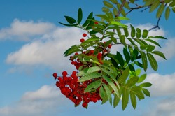 Rowan branches with ripe fruits close-up. Red rowan berries on the rowan tree branches, ripe rowan berries closeup and green leaves.