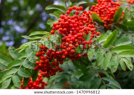 Photo of  Rowan branches with ripe fruits close-up. Red rowan berries on the rowan tree branches, ripe rowan berries closeup and green leaves.