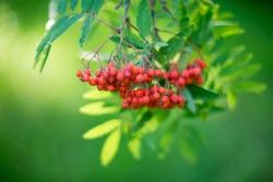 Rowan, rowan berry background, nature bokeh
