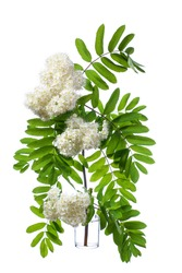 Rowan (sorbus aucuparia or mountain-ash) blooming, in a glass vessel with water