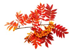 Rowan tree branch. Fall red leaves and berries. Closeup macro photo. Isolated on white background. Mountain ash rowan foliage. Beautiful orange berries bunch. Autumn floral template for thanksgiving.
