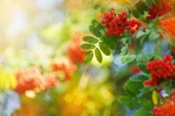 Rowan tree, close-up of bright rowan berries on a tree