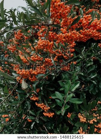 Rowan tree in park, closeup of bright orange rowan berries, natural autumnal foliage background. Autumn foliage, September, October concept. Selective focus. #1488125615