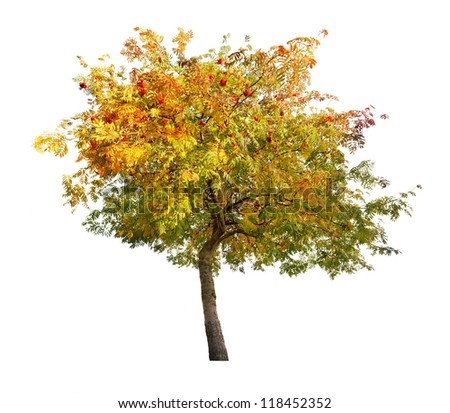 rowan tree with berries isolated on white background