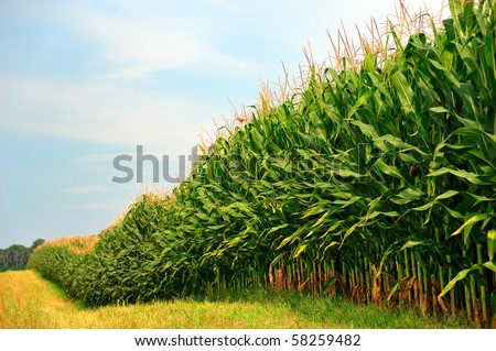 Rows and Rows of fresh unpicked corn