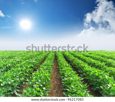 Rows from green vegetable on field. Bright sun and blue sky