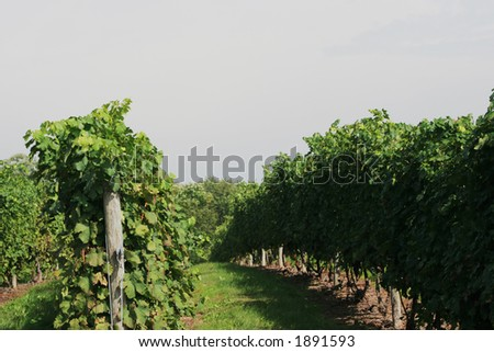 Rows in a vineyard.
