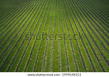 Rows in a vineyard, natural pattern above from a drone. Aerial view of the rows of vineyards. Classic vineyards of Italy top view. Photo stock ©