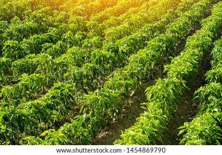 Rows of a plantation with bushes of Bulgarian sweet pepper. Farming and agriculture. Cultivation, care and harvesting. Grow and production of agricultural products for sale. farmland. Plant growing
