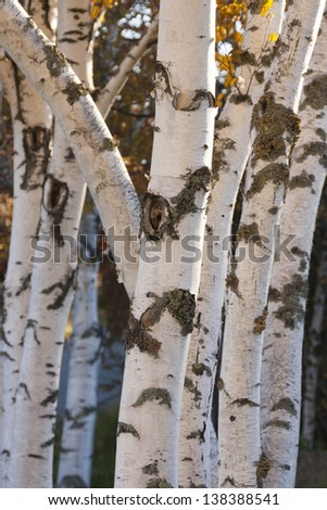 Rows of birch trees, Stowe Vermont, USA