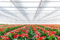 Rows of blooming anthurium plants in a greenhouse