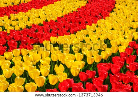 Rows of blooming brightly colored yellow and red tulips in bright sunlight in the spring. #1373713946