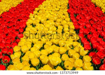 Rows of blooming brightly colored yellow and red tulips in bright sunlight in the spring. #1373713949