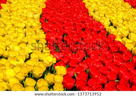 Rows of blooming brightly colored yellow and red tulips in bright sunlight in the spring. #1373713952