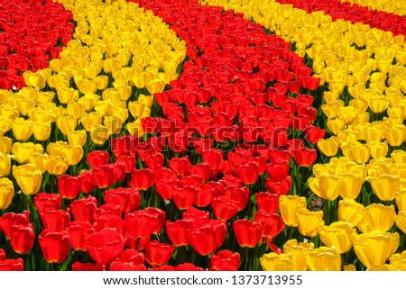 Rows of blooming brightly colored yellow and red tulips in bright sunlight in the spring. #1373713955