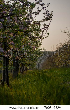Rows of blossoming apple trees at sunset Foto stock ©