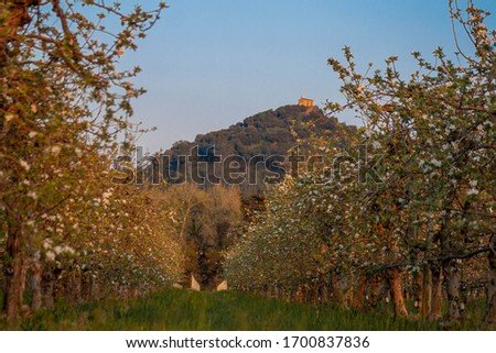 Rows of blossoming apple trees with mountain in the background Foto stock ©