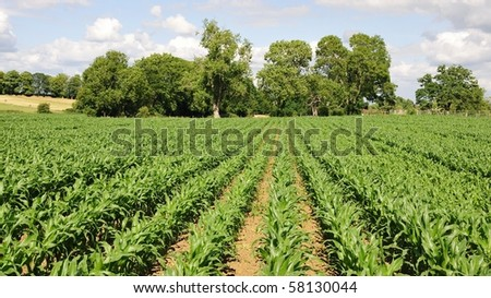 Rows of Cereal Crops on Farmland in Summer
