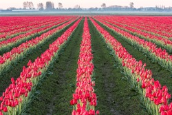 Rows of commercial red tulips growing in a field in the Skagit Valley of Washington with the rows converging to the horizon.  The flowers are a major tourist attraction in the area north of Seattle