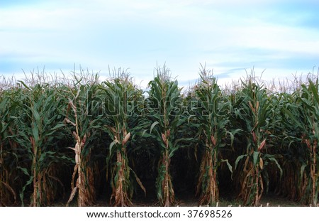 Rows of corn ready to be harvested