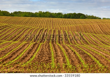 Rows of corn sprouting up in a field.