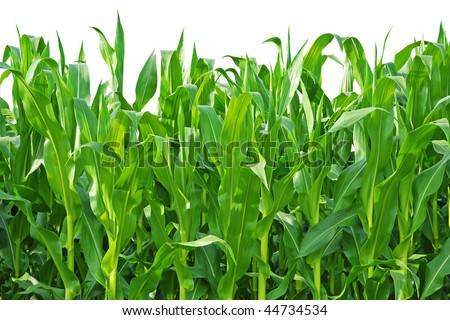 Rows of Corn Stalks Growing on a Farm. Isolated against white background. - stock photo