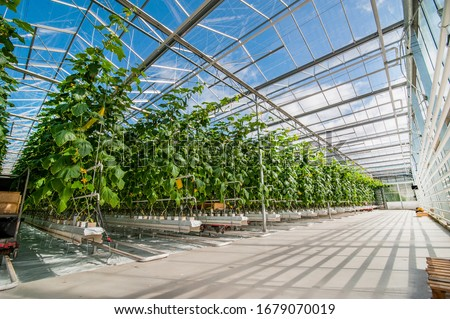 rows of cucumbers in a modern greenhouse, growing vegetables, designs made of glass, shadows on the floor Stock photo ©