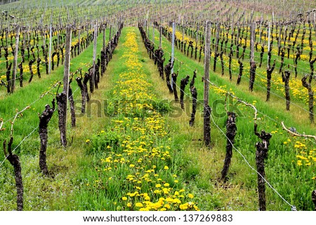 Rows of dandelions and wine in a vineyard in spring