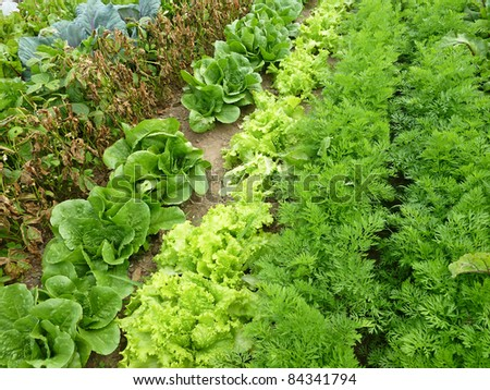 Rows of different vegetables growing in a garden - stock photo