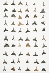 Rows of fossilized tiger shark, sand shark, bull shark, and lemon shark teeth isolated on white.