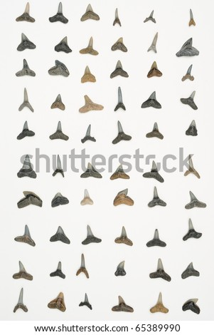 bull shark tooth. sand shark, ull shark,