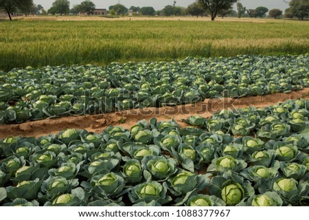 rows of fresh  green cabbage vegetable growing in farms, Rajasthan,India,Asia