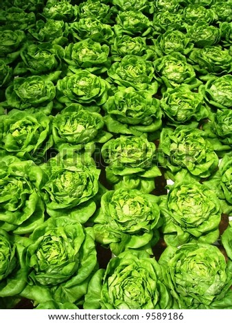 rows of fresh green lettuce