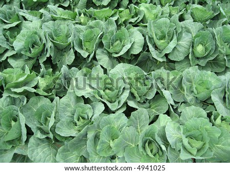 Rows of fresh leafy green cabbages at the vegetable farm.