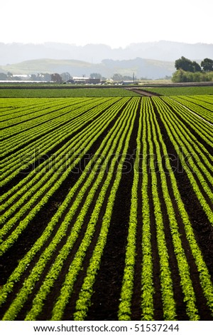 Rows of freshly planted lettuce in the Pajaro Valley of California