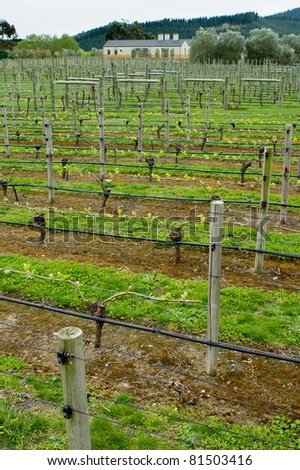 Rows of grape vines on a vineyard