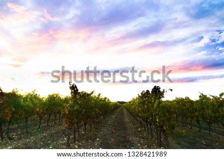 Rows of grapevine at sunset in autumn in the Pic Saint Loup region in Occitanie (France) with vibrant colorful sky