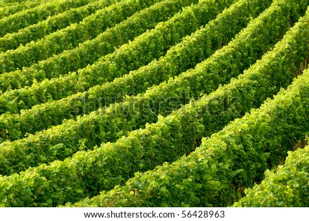 Rows of grapevine in soft daylight building a diagonal, slightly curved pattern