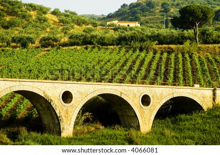 Rows of grapevines on a hillside vineyard in the summertime