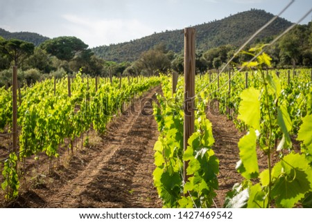 rows of grapevines on a vineyard in spain #1427469542